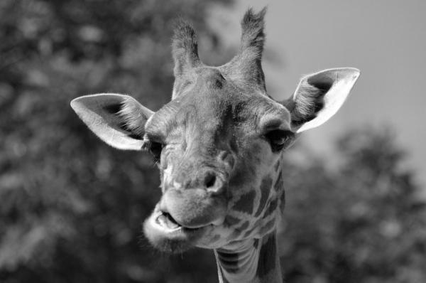 Girafe boudeuse