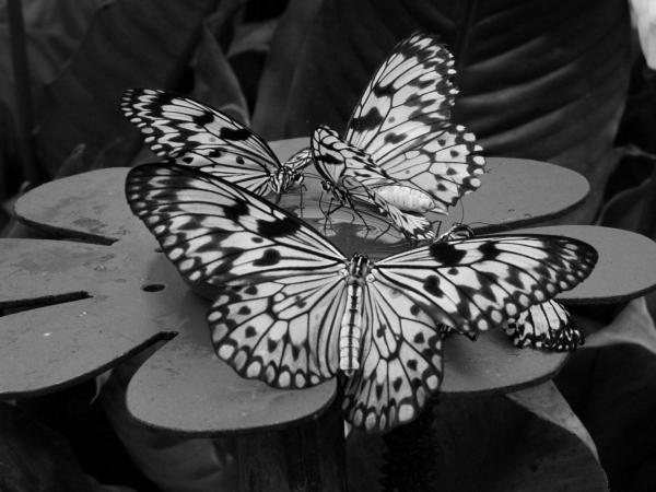 Papillons, 2007